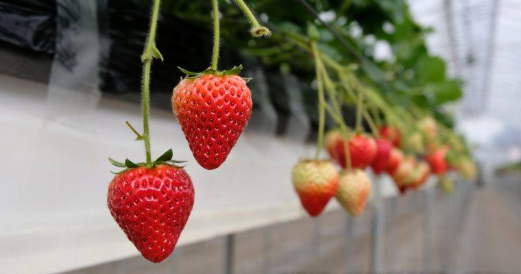 Chiba: Strawberry Picking Experience @ Dragon Farm